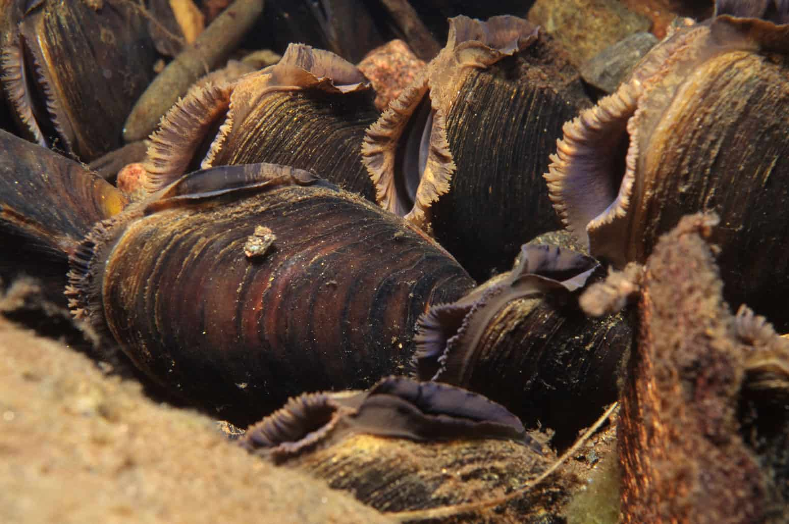 New insights into the life of Freshwater pearl mussels